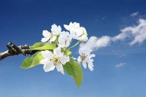 Baum Blüte Pflaume