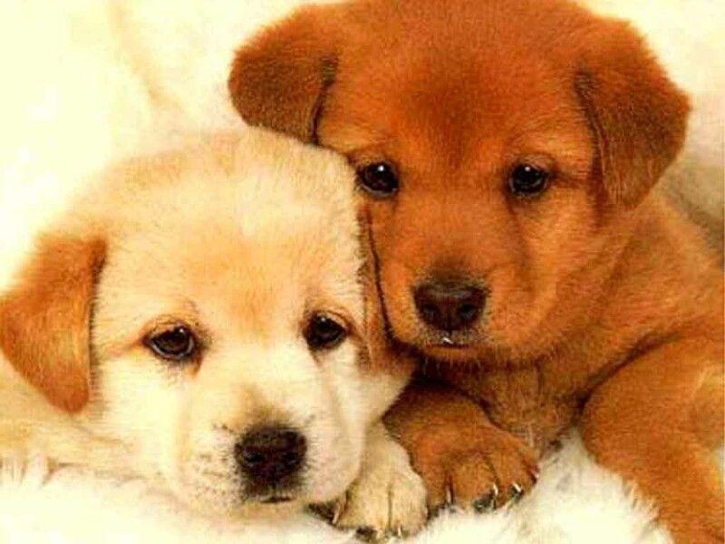 cuccioli-cane