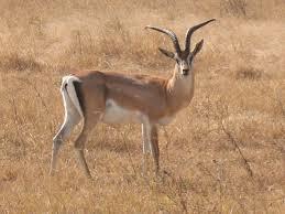 gazzella