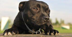 stafforshire_bull_terrier