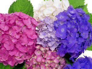 colorful-hydrangea