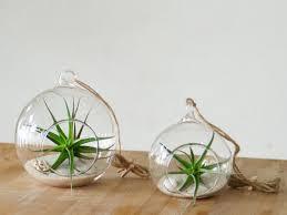 Scopri le Tillandsie, le piante aeree che non hanno bisogno della terra!
