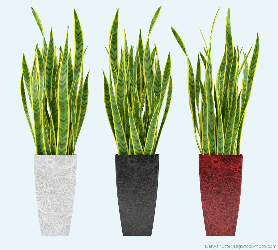 Decorative grass plant in flowerpot. Black, white, and red pot