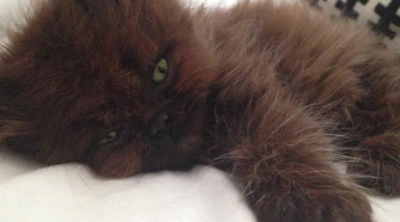 Una donna adottò un gattino morente: non poteva mai immaginare quel cucciolotto come si sarebbe trasformato